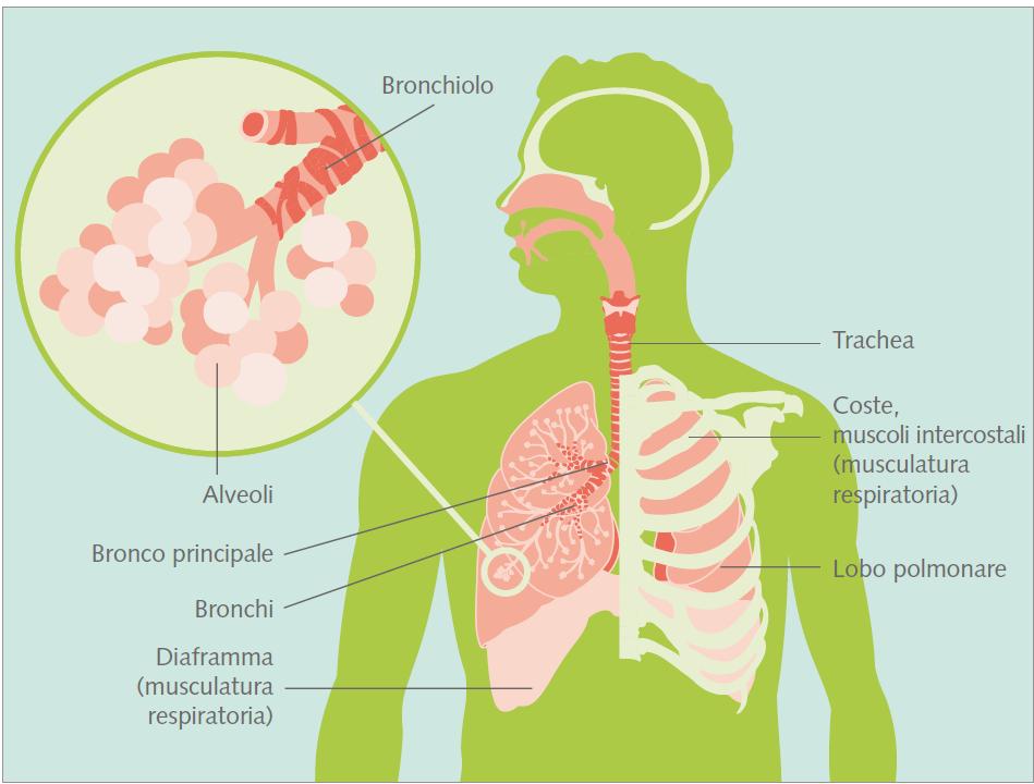 Polmoni - Lega polmonare Svizzera